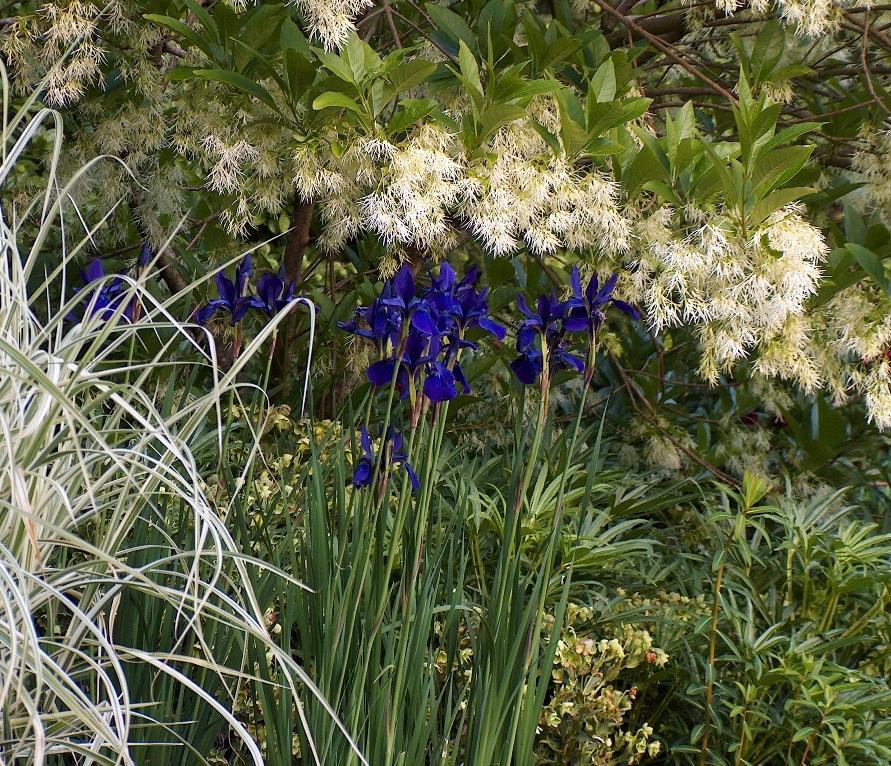 Siberian iris 'Pansy Purple' a public fovorite