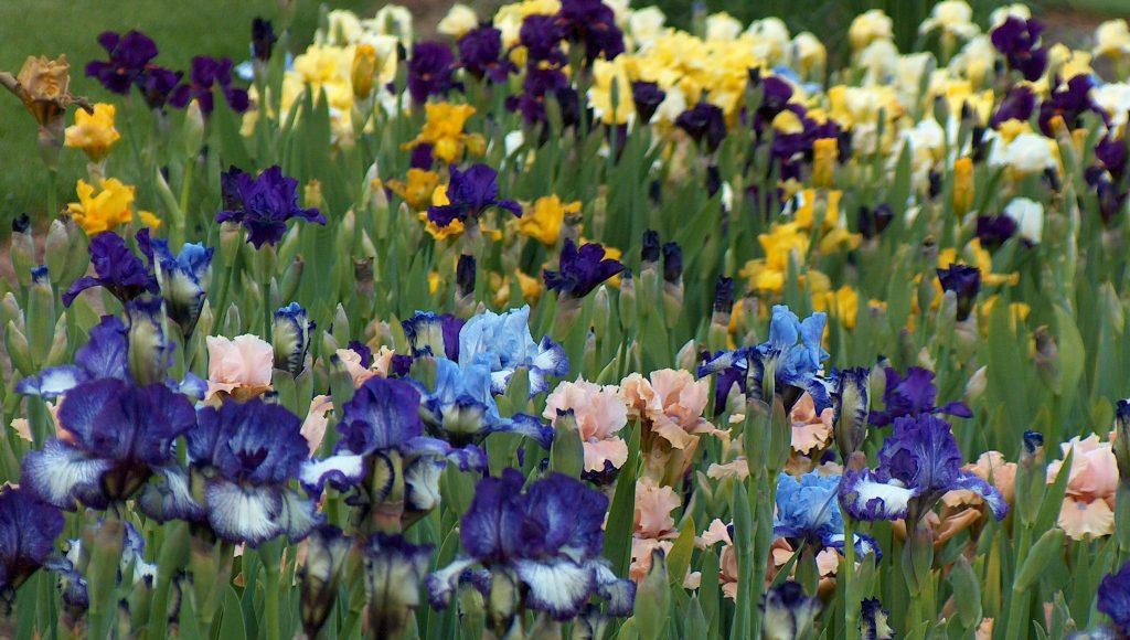 iris field