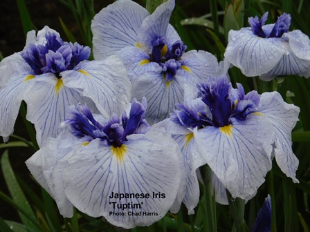 Japanese Iris are probably the most well known of the late iris family