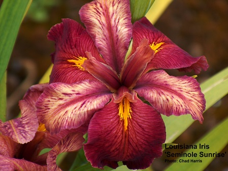 Many of the Louisiana Iris have bright colors