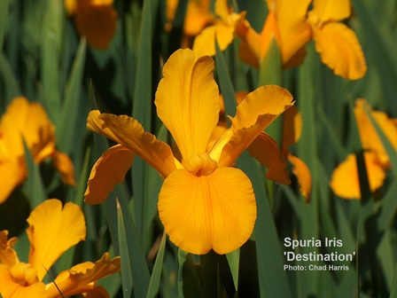 Spuria iris a late blooming family also come in a variety of bright colors
