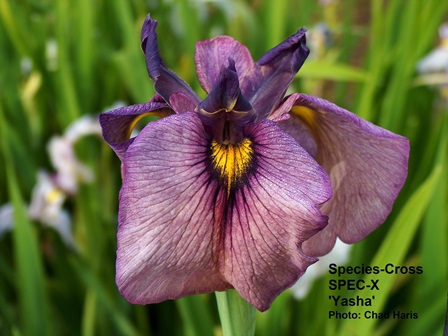 New hybrids of iris are now  extending the iris season longer