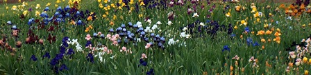 Many of these colors of iris will be found at the bearded plant sale.