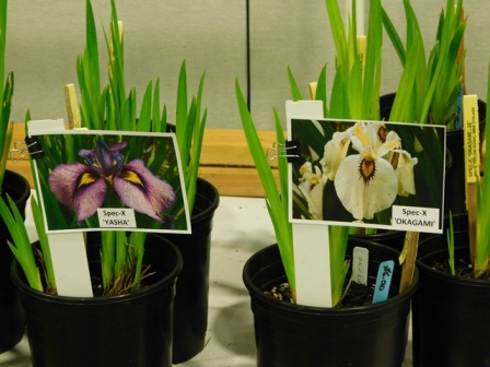 Water loving iris are also sold.