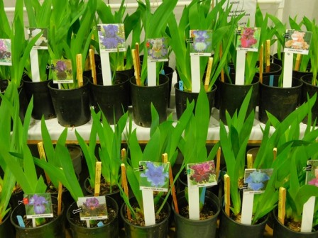 Tall Bearded iris rooted and ready to plant.