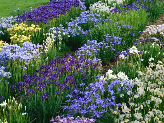 Siberians add great color and texture to the garden.